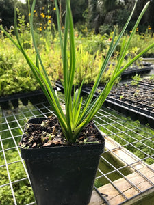 "Blazing Star - Liatris tenuifolia 4"" pot"