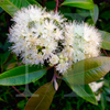 Lemon Scented Myrtle | Candle Fragrance Oil | NI Candle Supplies