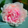 Lychee Peony | Candle Fragrance Oil | NI Candle Supplies
