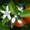 Neroli & Ylang Ylang | Candle Fragrance Oil | NI Candle Supplies