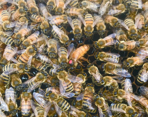 2021 Bred OR Virgin Queen Bees