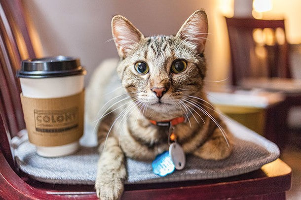cat cafe, coffee with cat, cat coffee, coffee