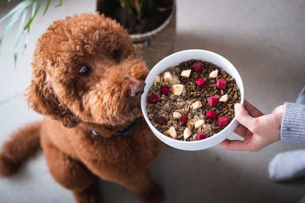 Guinness the Poodle Staring at Yummy Kafka's Fresh Pet Food