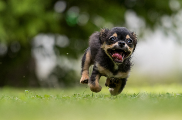 Running dog in a field