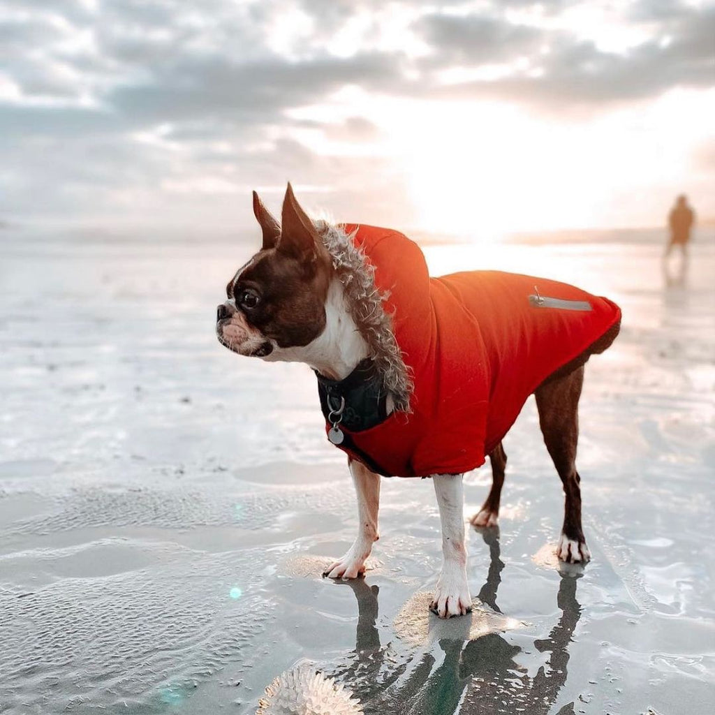 A dog standing on Chestermans Beach in a jacket