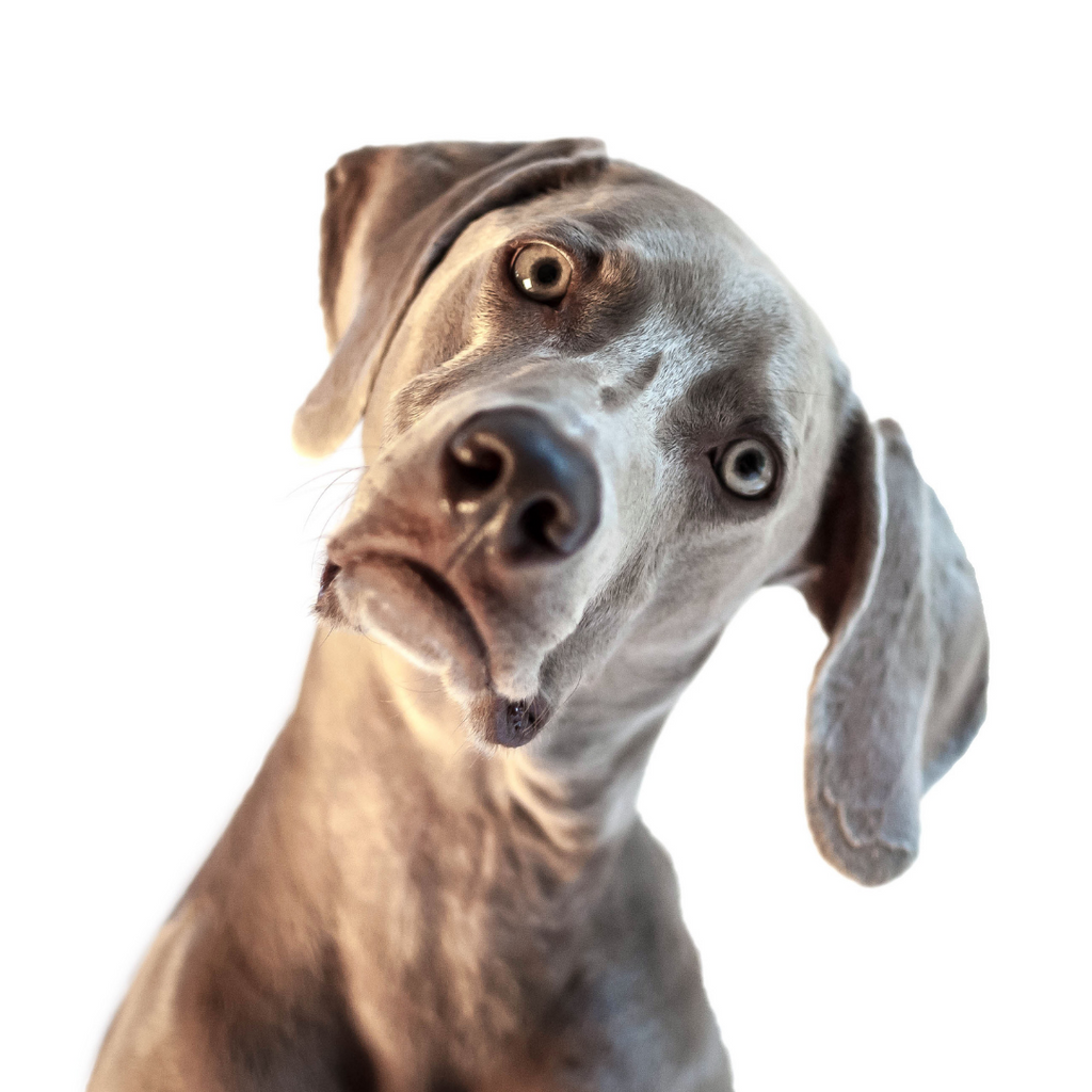 a dog tilting its head looking confused