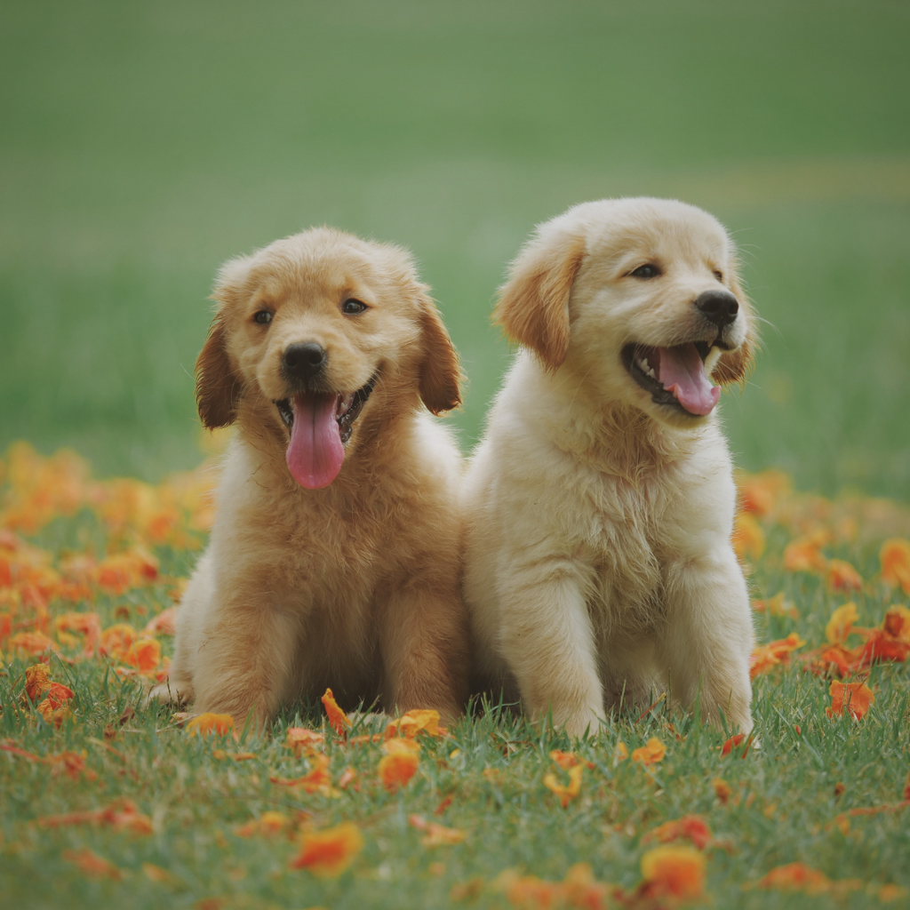 two puppies sitting in a field