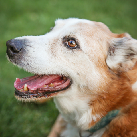 senior dog with a greying face, bone broth for older dogs,