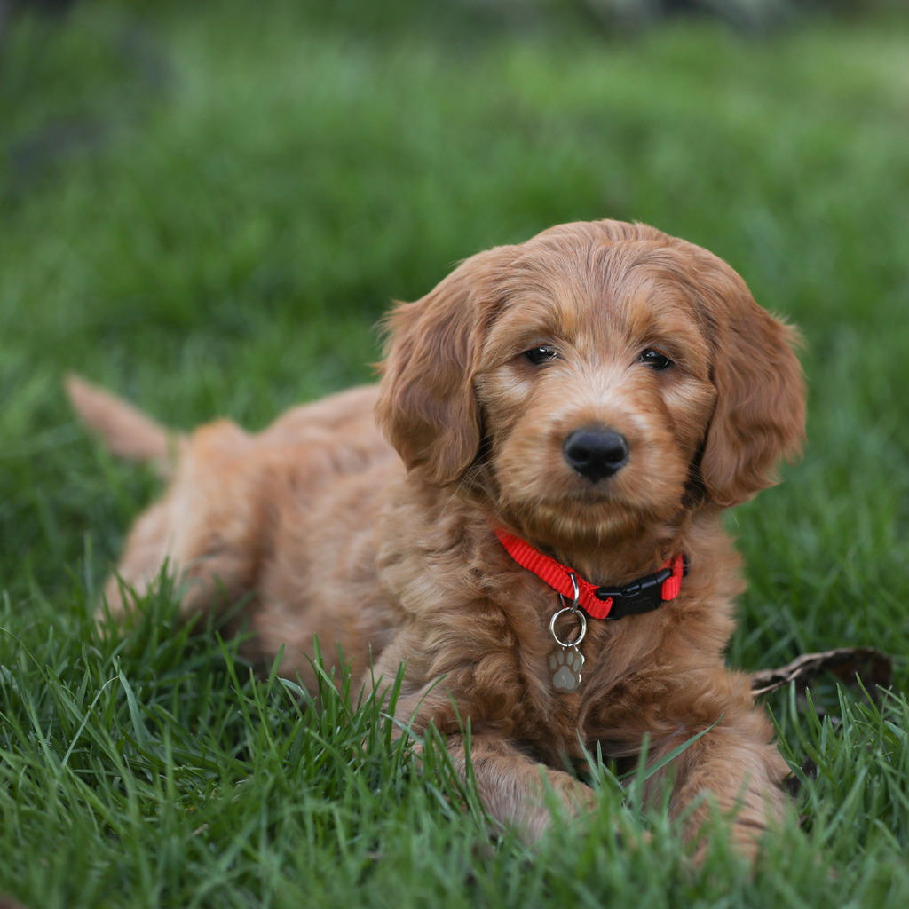 a golden doodle puppy laying in the grass
