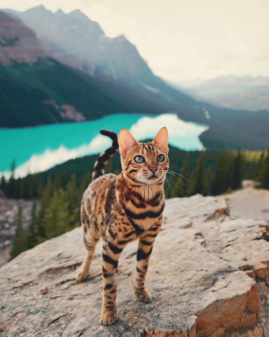 hiking cat, bengal cat, hiking bengal, hike with cat, cat hiking