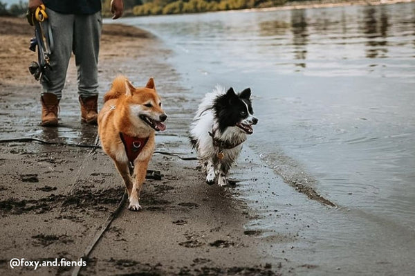 dogs walking along Vancouver off leash dog beach
