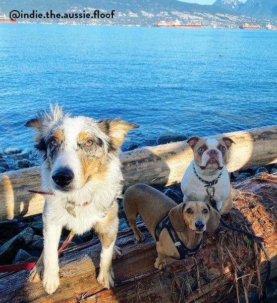 Group of pups at off leash dog beach in Vancouver