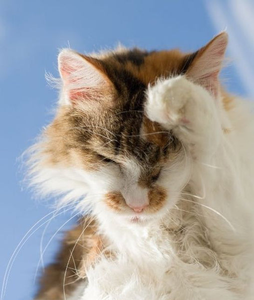 cat-with-food-allergy-symptoms