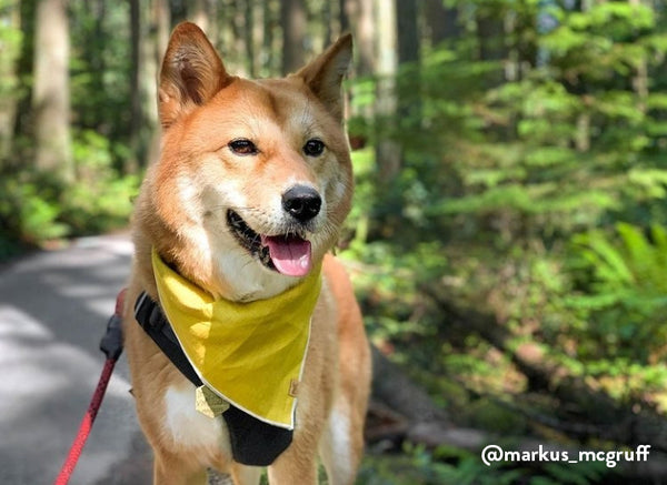 Shiba at off leash dog park forest