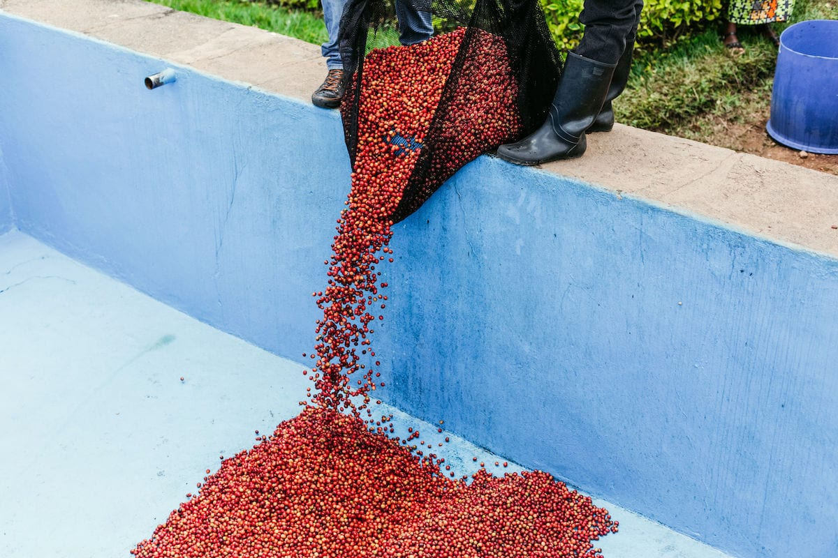 Rwandan coffee cherries being added to a fermentation tank, as part of the washed process at Kopakama co-operative