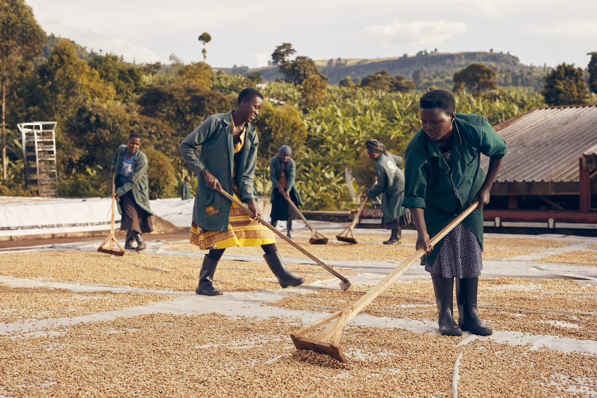 Ugandan washed coffee being patio dried by one of our producer partners, Kawakom in Sipi Falls