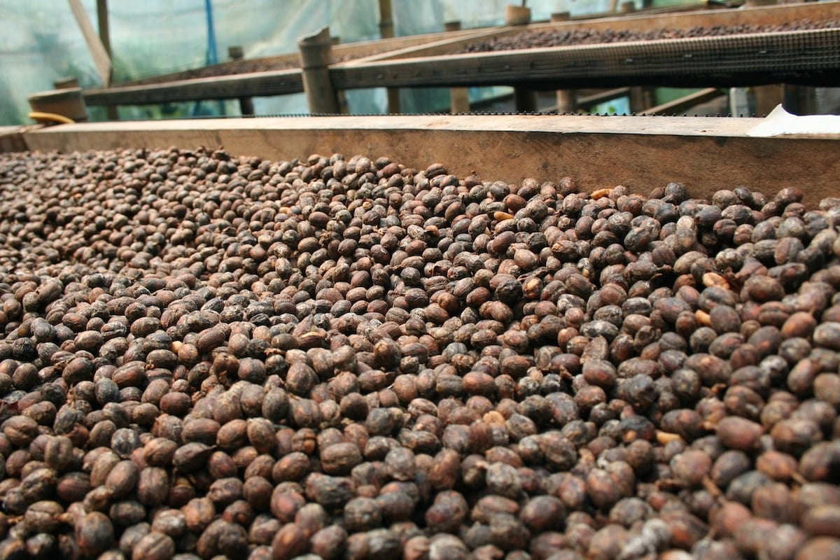 Colombian natural coffee being dried on raised beds, at Finca La Negrita