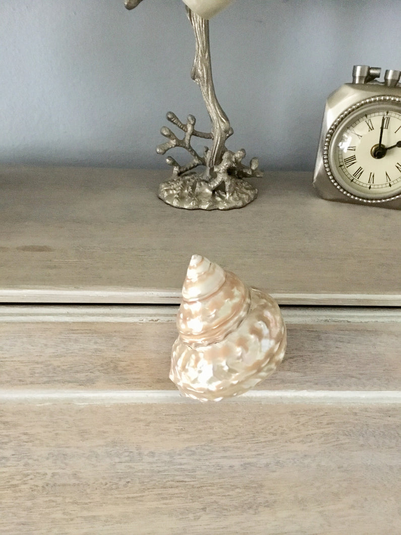 Cream Wavy Turbo Shell Drawer Pull