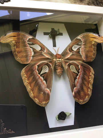Real Atlas Moth frame