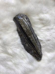180mm Orthoceras Fossil