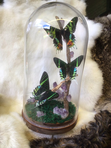 Triple Urania & Sunset Moth Terrarium