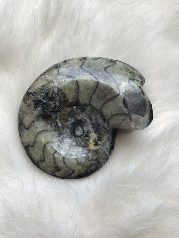 65mm Real Goniatite Fossil