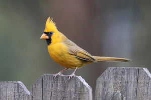 Felt Yellow Cardinal, Mr. Yellow
