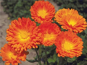 Calendula oil is a great moisturizer for dry skin and for severely chapped paws.