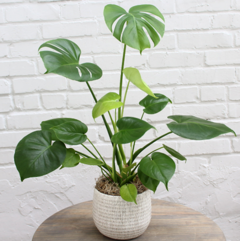 Monstera Beauty