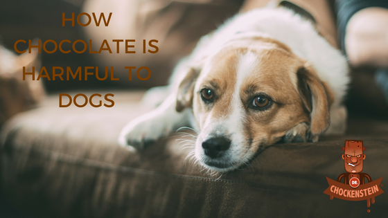 CHOCOLATE CAN KILL YOUR DOG AND HERE IS WHY