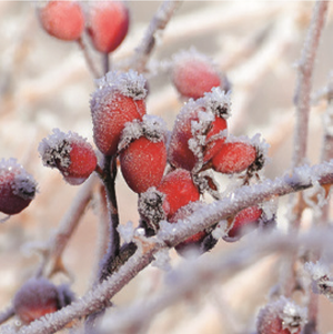 Lunch Napkin - Frozen Rosehips (Collection: 32513455) - COLLECTION