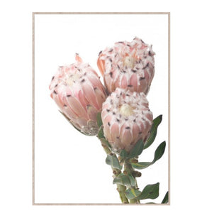 Dusty Pink Protea's