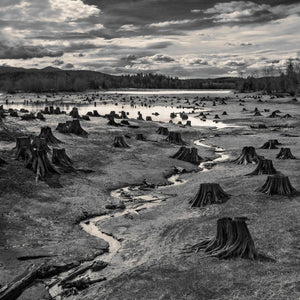 Stumps, Alder Lake, Nisqually River Damn, Washington, USA