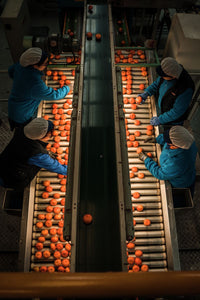 Women select the oranges