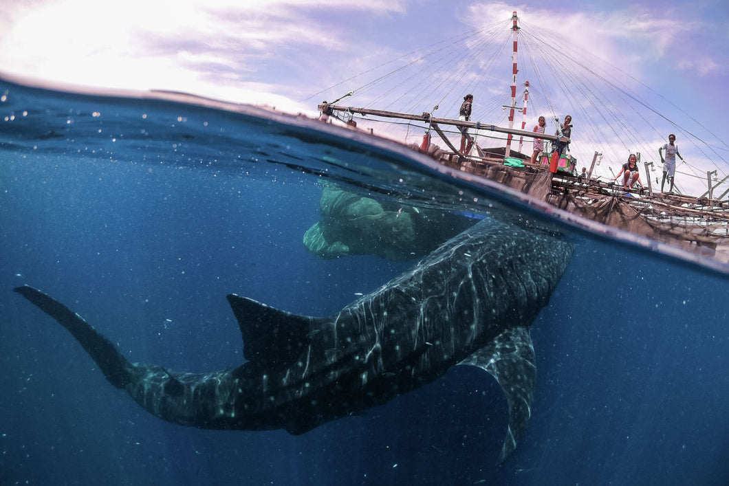 Whale shark encounter, Papua West, 2018