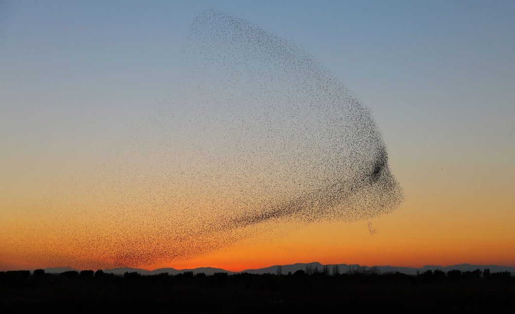 starling murmuration part 1