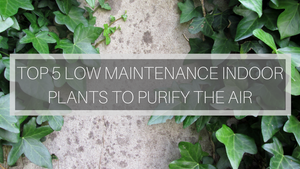 Top 5 Low Maintenance Indoor Plants for purifying the air