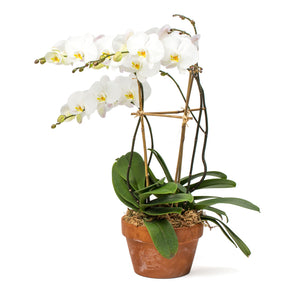 Orchid, White Multi-Stem (Pick up ONLY)