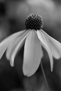 Black Eyed Susan in Sepia