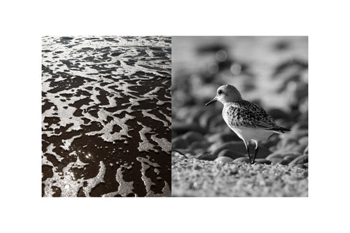 Piping Plover and Sea Foam