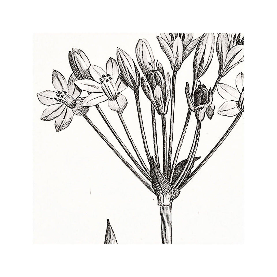 18th Century FRENCH BOTANICAL Illustration - ALLIUM Fragrans - Foundry