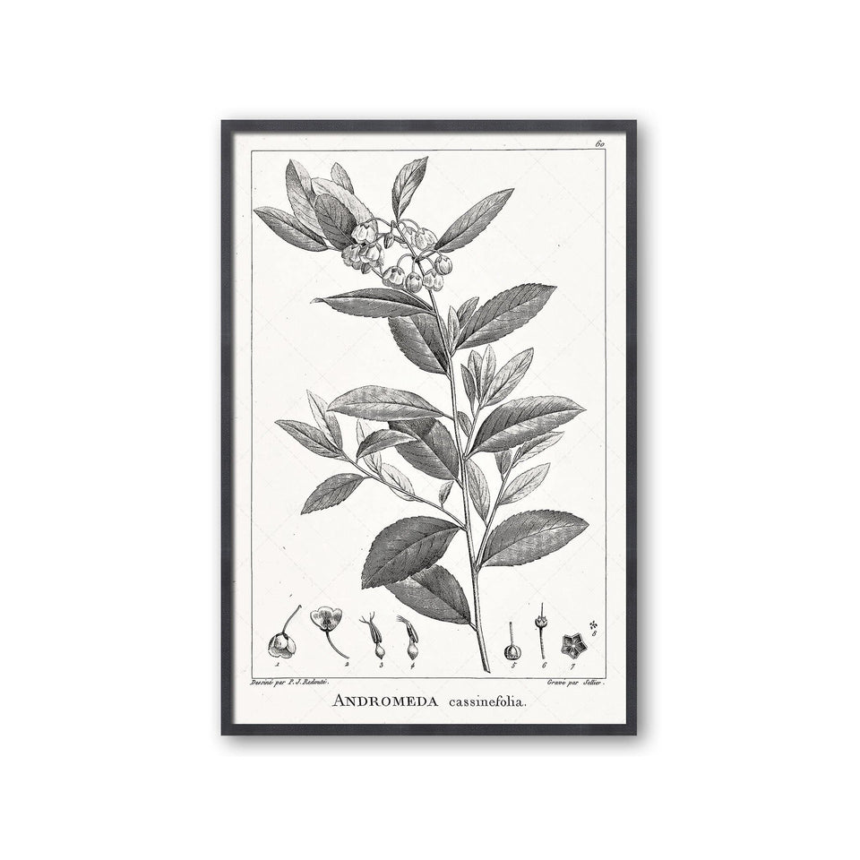 18th Century FRENCH BOTANICAL Illustration - ANDROMEDA Cassinefolia - Foundry