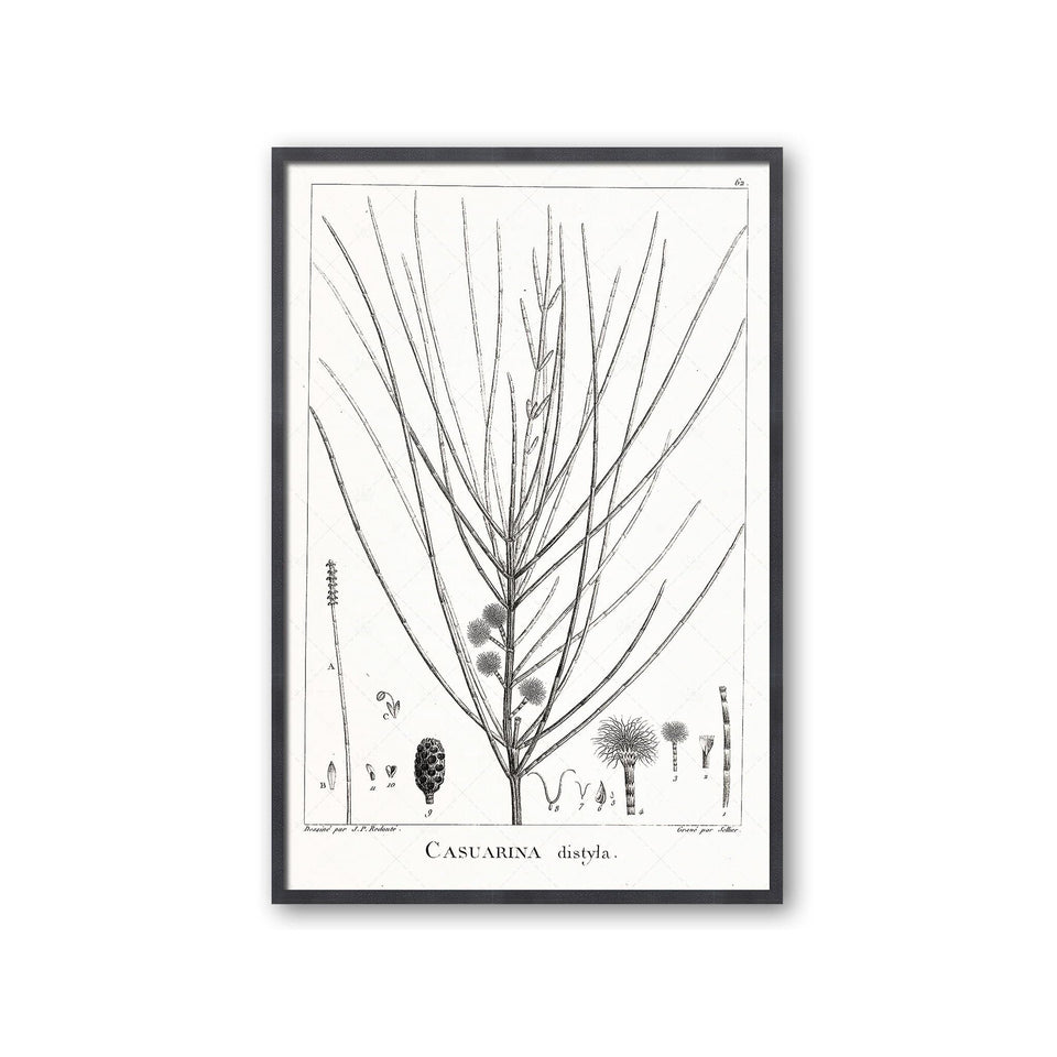 18th Century FRENCH BOTANICAL Illustration - CASUARINA Distyla - Foundry