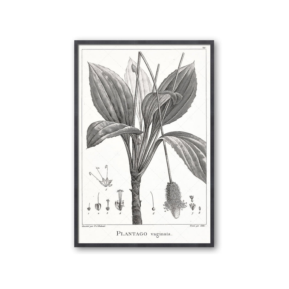 18th Century FRENCH BOTANICAL Illustration - PLANTAGO Vaginata - Foundry