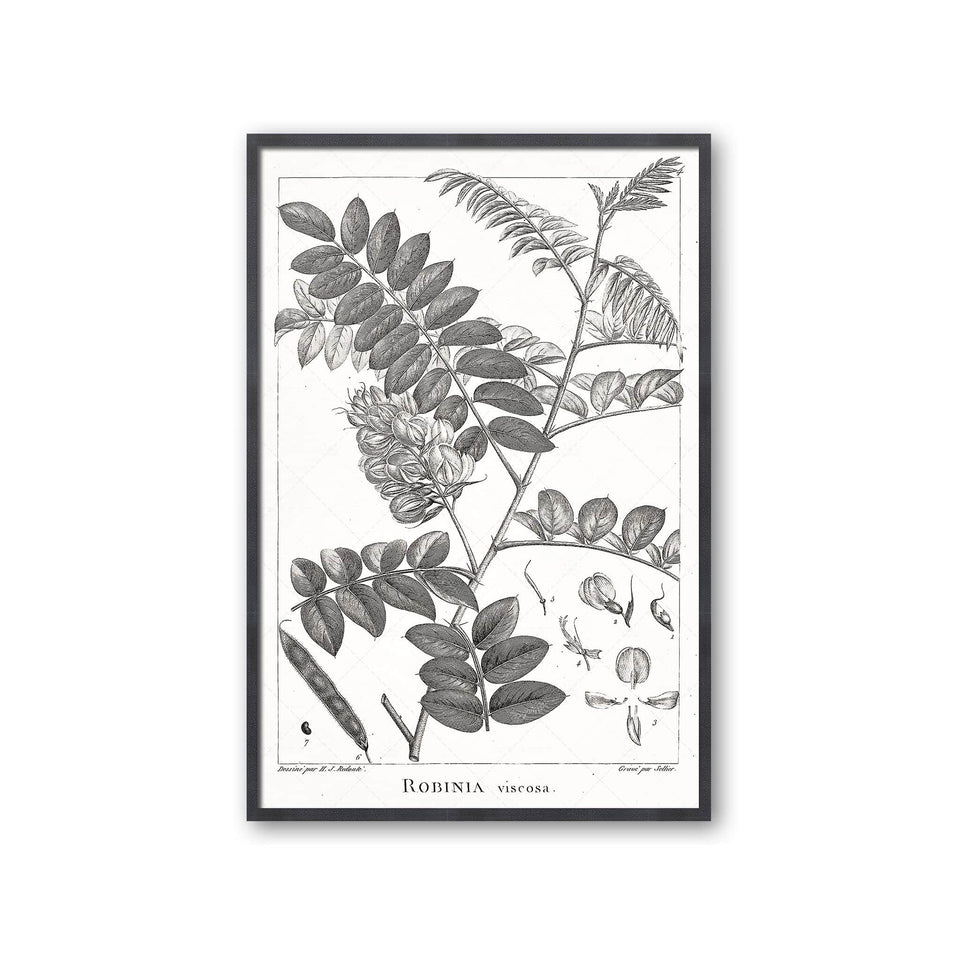18th Century FRENCH BOTANICAL Illustration - ROBINIA Viscosa - Foundry