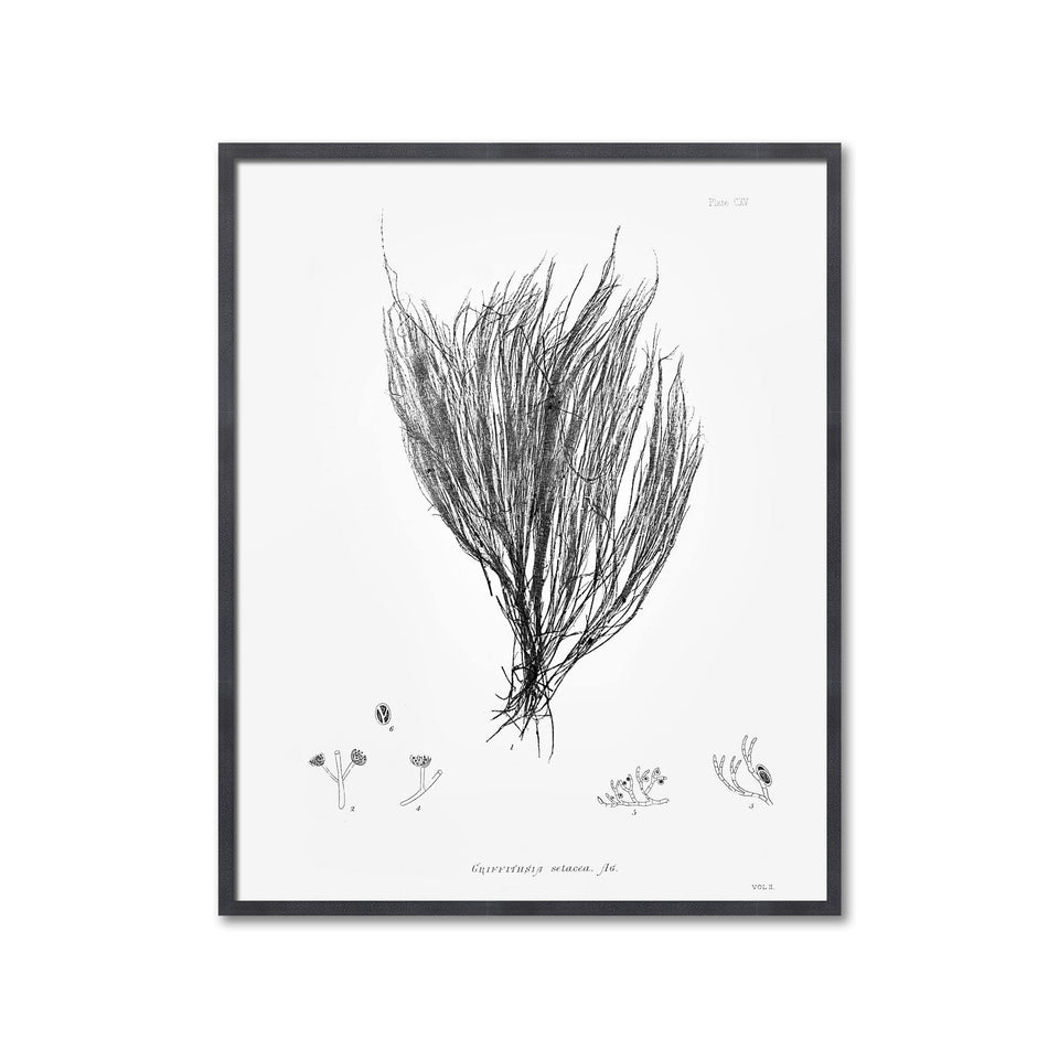 SEAWEED ART: 1859 BOTANICAL #06 - Foundry
