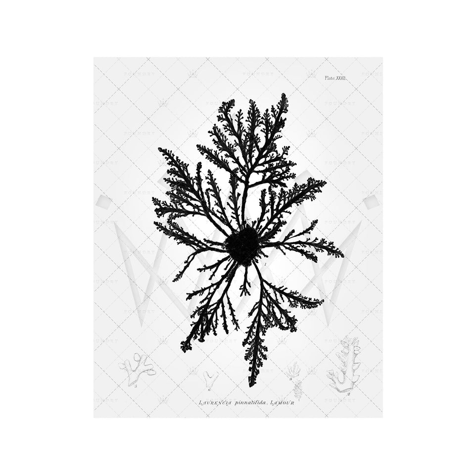 SEAWEED ART: 1859 BOTANICAL #10