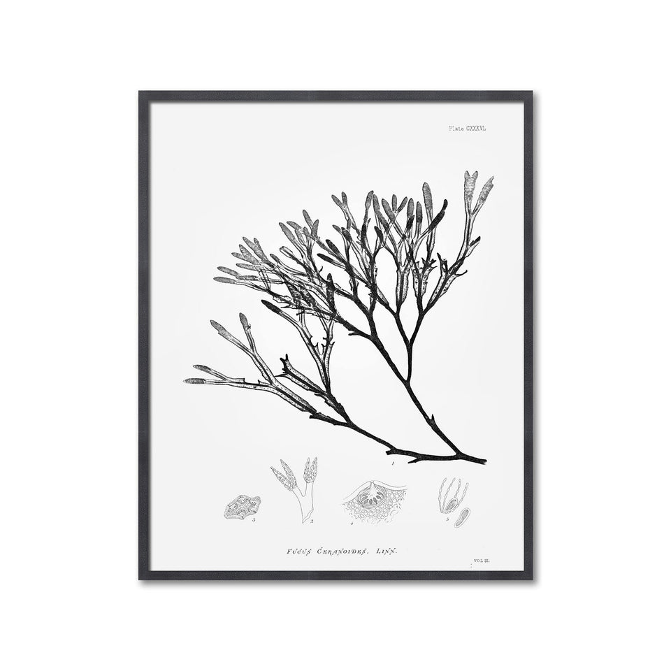 SEAWEED ART: 1859 BOTANICAL #13 - Foundry