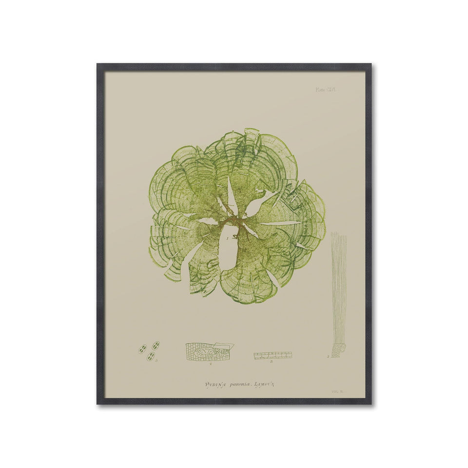 SEAWEED ART: 1859 BOTANICAL #15 - Foundry