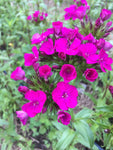 Dianthus-Neon Purple